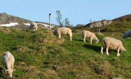 sheep_in_norwegian_mountain