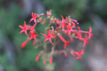 Red, star-shaped, wildflowers along the Spring Creek Canyon hike